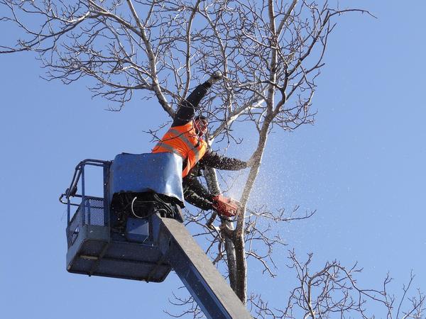 Wycinka drzew technikami alpinistycznymi